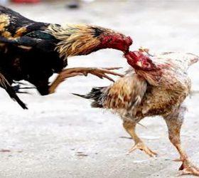 Agen Judi Ayam Sabung Taji Online