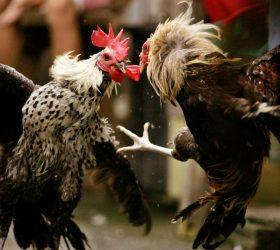 Game SV388 Judi Sabung Ayam Online