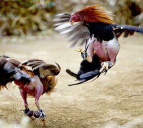 Bandar Judi Ayam Online Terbaik Indonesia