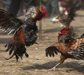 Cara Jitu Menang Judi Ayam Online